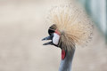 Free Portrait Of Black Crowned Crane Royalty Free Stock Images - 33051109