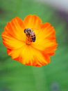 Free Orange Poppy Flower With A Bee Royalty Free Stock Photo - 33051815