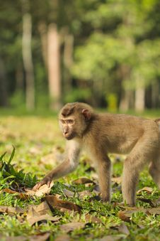 Free Thai Monkey Royalty Free Stock Photo - 33053815