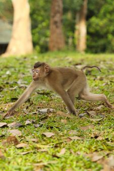 Free Monkey Was Walking Royalty Free Stock Images - 33054489