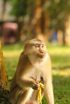 Free Monkey Eating Banana Stock Photo - 33054520