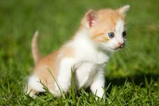 Free Baby Kitten Royalty Free Stock Photo - 33055275