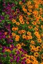 Free Globe Amaranths & Yellow Daisies Royalty Free Stock Images - 33061949