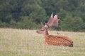 Free Resting Fallow Deer Stock Photos - 33064273