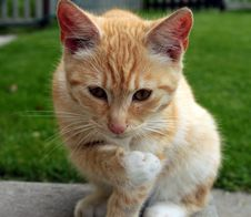 Free A Ginger Cat Royalty Free Stock Image - 33061706