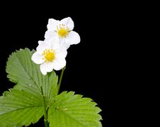 Free Wild Strawberry Stock Image - 33063071