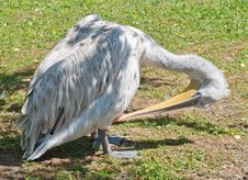 Free Pelican Preening Feathers Stock Photography - 33064352