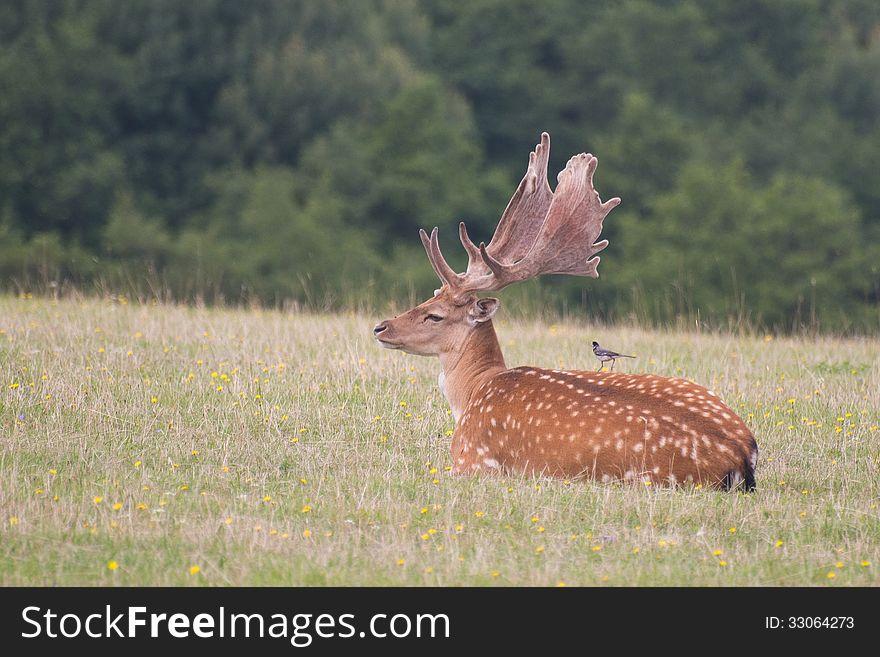 Resting fallow deer