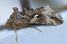 Night Butterfly Scoop-gamma &x28;Autographa Gamma&x29; Stock Photography