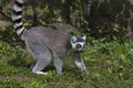 Free Ring-tailed Lemur Stock Images - 33087684