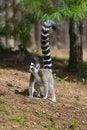 Free Ring-tailed Lemur Royalty Free Stock Image - 33087776