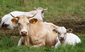 Free Two Cows Stock Photos - 33088283