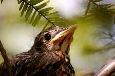 Baby Bird Closeup-1 Royalty Free Stock Photo