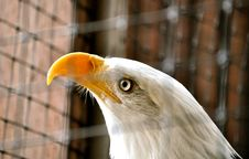 Bald Eagle In Rehabilitation Center1 Royalty Free Stock Image