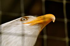 Bald Eagle In Rehabilitation Center1 Royalty Free Stock Photography