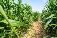 Free Corn Field Stock Photography - 33086702