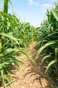 Free Corn Field Royalty Free Stock Photography - 33086747