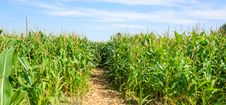 Free Corn Field Stock Images - 33086774