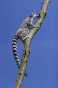Free Ring-tailed Lemur Royalty Free Stock Photos - 33087468