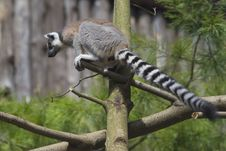 Free Ring-tailed Lemur Royalty Free Stock Photography - 33087517