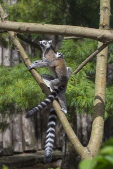 Free Ring-tailed Lemur Royalty Free Stock Photography - 33087627