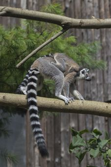 Free Ring-tailed Lemur Royalty Free Stock Image - 33087646