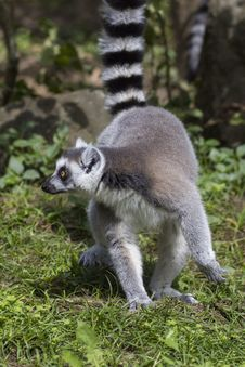Free Ring-tailed Lemur Royalty Free Stock Image - 33087716