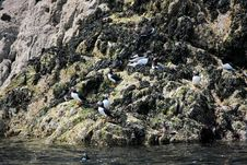 Free Young Puffins On The Skomer Island Royalty Free Stock Images - 33087729