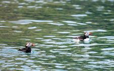 Two Puffins In The Atlantic Ocean Stock Photos