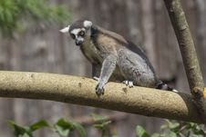 Free Ring-tailed Lemur Stock Images - 33087744