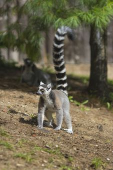 Free Ring-tailed Lemur Royalty Free Stock Image - 33087776