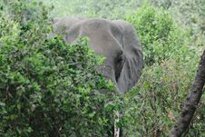 The Big Elephant Hidden In The Trees Royalty Free Stock Photography