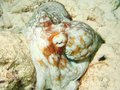 Free Caribbean Octopus Stock Photography - 33092552