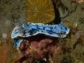 Free Chromodoris Willani Royalty Free Stock Images - 33092659