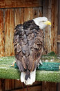 Free Rescued Bald Eagle In Territorial Posture Stock Images - 33092944