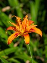 Free Orange Lily Stock Photography - 33093642