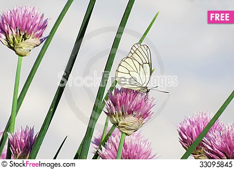 Free Insects Of Meadows Royalty Free Stock Photo - 33095845