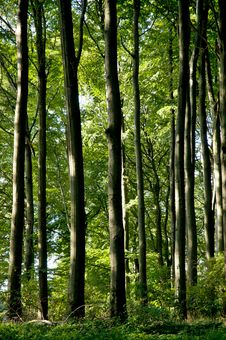 Free The Beech Forest Stock Images - 33091964