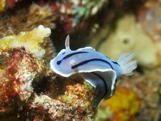 Free Chromodoris Willani Royalty Free Stock Photos - 33092638