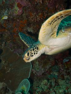 Free Green Turtle Stock Images - 33093244