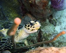 Free Hawksbill Turtle Royalty Free Stock Image - 33093366
