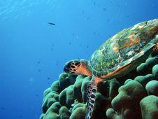 Free Hawksbill Turtle Stock Photos - 33093393