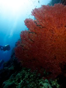 Free Huge Pink Sea Fan Stock Image - 33093491
