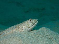 Free Lizardfish Stock Photos - 33093513
