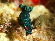 Free Nembrotha Kubaryana Stock Photos - 33093613