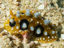 Free Phyllidia Ocellata Stock Images - 33093724