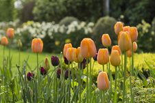 Free Orange Tulips Royalty Free Stock Image - 33094706