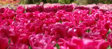 Free Garden With Pink Tulips Royalty Free Stock Photography - 33095277