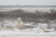 Free Male Polar Bear In Submission After A Mock Spar Stock Photography - 33096462