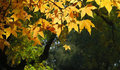 Free Autumn Color, Maple Leaves Royalty Free Stock Photo - 3315885